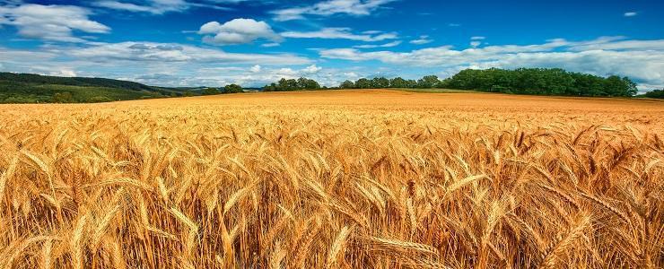 opțiuni binare pe grâu)