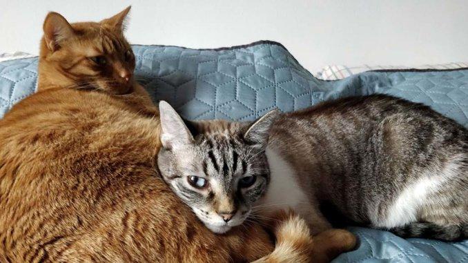 Opțiuni de tratament pentru hipertiroidism la pisici