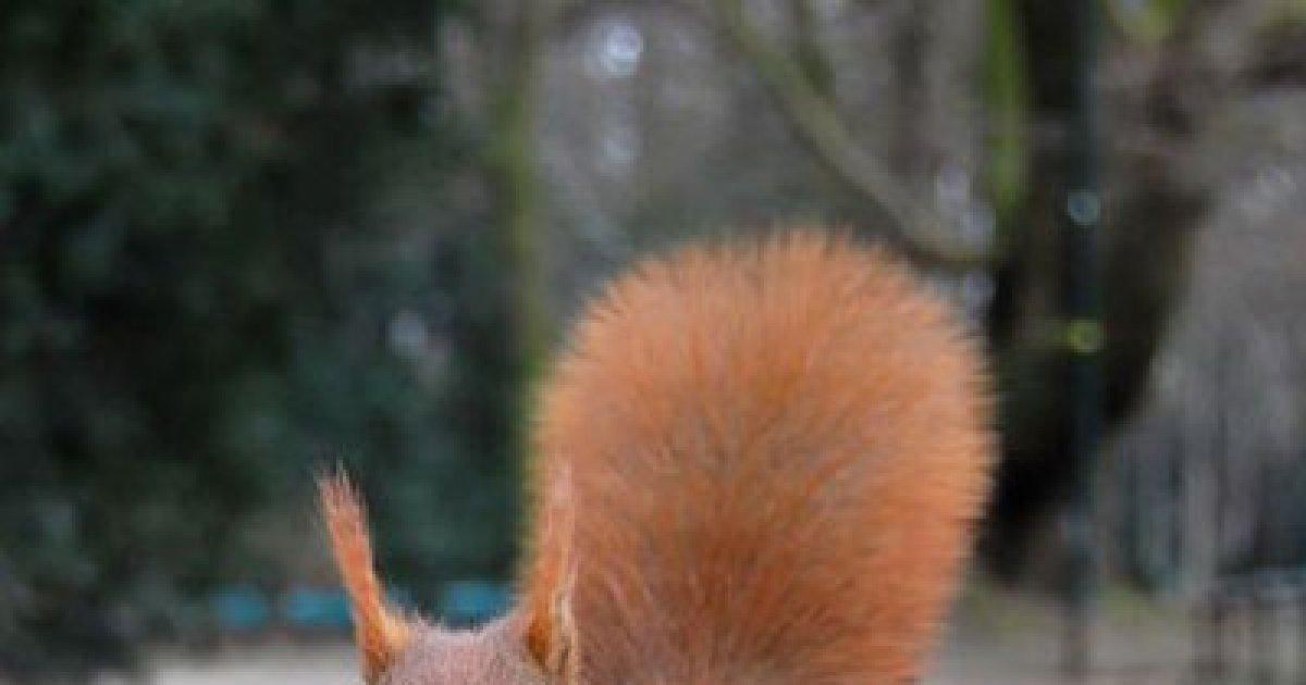 comercializarea veverițelor)